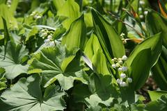 ckuchem- (christine_kuchem) Tags: mai blätter garten frühling blüten frauenmantel maiglöckchen naturnah naturgarten biogarten privatgarten