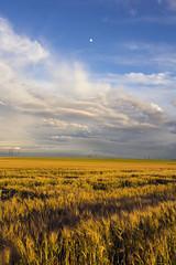 Le beau autour de nous, simplement (Fabien Husslein) Tags: champ field cereal cereales sky ciel gold blue or bleu lune moon light lumiere landscape paysage agriculture nature moselle lorraine france