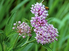 swamp milkweed with Pennsylvania Leatherwing (Lana Pahl / Country Star Images) Tags: wildflowers bokeh