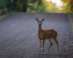 RodeReady (jmishefske) Tags: d800e nikon whitetail halescorners wildlife wisconsin august park whitnall milwaukee doe deer 2016
