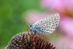 Butterfly (eeva654) Tags: butterfly macro micro colors blue purple pink green nature flower close
