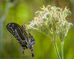 Potts Preserve Palamedes Swallowtail 07-21-2016 (Jerry's Wild Life) Tags: butterfly carolinaredroot carolinianalacnanthese citrus citruscounty county florida floridawildflower palamedes palamedesswallowtail papiliopalamedes potts pottspreserve swallowtail wildflower