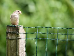 160710_152840_P3740783.jpg (millipod) Tags: birds mus sparrow spatz lelystad flevoland netherlands