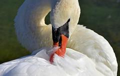 Souple lgance (Diegojack) Tags: nikon nikonpassion d7200 oiseaux lman lac morges cygnes plumes blanc bec lgance douceur