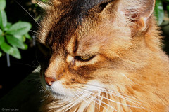 Rags for Happy Caturday (Finn Frode (DK)) Tags: cats garden rags dusharatattersandrags somali somalicat som olympus omdem5 denmark animal pet cat outdoor happycaturday