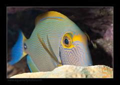 ALAIN2dussumieri6437 (kactusficus) Tags: marine reef aquarium alain captive ecosystem rcifal acanthuridae chirurgien surgeonfish tang acanthurus dussumieri