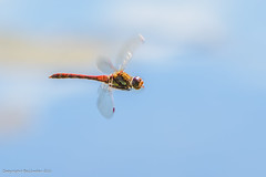 Dragonfly (Baljinder.Gill) Tags: dragonfly inflight insect insectphotography insects macroinsect nikon nature naturephotography naturewildlife naturemacro macro macronature macrophotography wildlife wildlifephotography wildlifenature wildlifeupclose