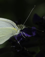 Butterfly_SAF7570 (sara97) Tags: missouri butterfly copyright2016saraannefinke flyinginsect insect nature outdoors photobysaraannefinke pollinator saintlouis towergerovepark