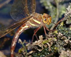 Brown hawker dragon fly (Simon Dell Photography) Tags: brown hawker common dragon fly flys flies flie macro close up detail yellow striped toffe banan color pond laying oviposting sigme 150500mm lens pentax k50 camera simon dell sheffield shirebrook valley nature reserve hackenthorpe 2016 views wildlife photography