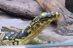 Zoo Ffm Mindanao-Bindenwaran (Varanus cumingi) P1010707 (martinfritzlar) Tags: zoo frankfurt tier reptil waran bindenwaran mindanaobindenwaran varanidae varanus cumingi yellowheaded water monitor