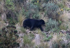 Spectacled (Andean Bear) walking across grassland (Paul Cottis) Tags: spectacled bear andean shortfaced mammal papallacta paulcottis 9 august 2016 moor