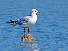 Gaviota reidora (Chroicocephalus ridibundus) (1) (eb3alfmiguel) Tags: aves acuaticas chadriiformes gaviota reidora laridae