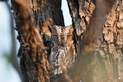 DSC_3621.JPG (manuel.schellenberg) Tags: namibia animal etosha nationalpark owl africanscopsowl