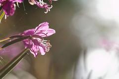 Schwedenblume (janakintrup) Tags: schweden glasfjorden vrmland stmne urlaub canon rucksackreisen sommer august pflanze blume blte blatt bltenblatt sonne licht gegenlicht durchscheinen stempel makro macro sweden lila blmchen skandinavien norden nrdlich