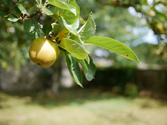 Under the French cidre apple tree #normandy #france #bokeh (Leon Joele) Tags: normandy bokeh france gx7 20mm 17 blur apple apples cidre tasty fruit tree french closeup macroshot panasonic lumix nature landscape green summer colorful
