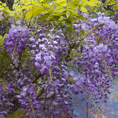 9031Spring15 (Robin Constable Hanson) Tags: blue ceiling flowers green overhead purple spring up wisteria