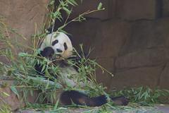 Mr. Wu - San Diego Zoo (Rita Petita) Tags: xiaoliwu mrwu sandiegozoo sandiego california china panda giantpanda specanimal