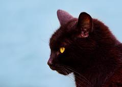 'Figgy On Blue' (Jonathan Casey) Tags: cat black blue eye nikon d810 400mm vr f28