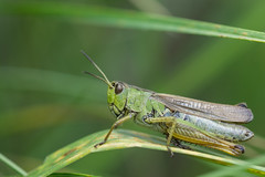 Grasshopper (finor) Tags: sony alpha a6000 ilce6000 mirrorless sel90m28g macro fe90mm grasshopper grashpfer animal nature wildlife