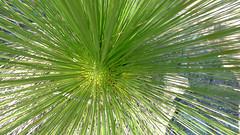 Xanthorrhoea johnsonii leaves (John Tann) Tags: muluerindie warrabahnationalpark nsw australia september 2016 geo:country=australia grasstree xanthorrhoeajohnsonii xanthorrhoeaceae xanthorrhoea johnsonii taxonomy:family=xanthorrhoeaceae taxonomy:binomial=xanthorrhoeajohnsonii