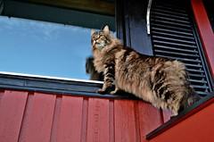 Nobody home!!! (KvikneFoto) Tags: katt cat elvis 2016 hst fall autmn