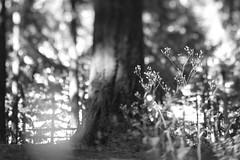 Mount Tabor (Tony Pulokas) Tags: mttabor mounttabor mounttaborpark portland oregon tilt blur tree douglasfir summer nipplewort bokeh