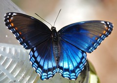 Red-Spotted Purple butterfly (docia2012) Tags: insectsandspiders