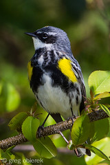 Yellow-rumped Warbler Myrtle Male (greg obierek) Tags: bird wildlife marsh delaware warbler nationalwildliferefuge yellowrumpedwarbler bbh dendroicacoronata woodwarbler avain bombayhooknwr myrtlemale
