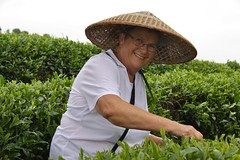 Tea picking 2 (Purple Giraffe) Tags: china green tea yangshuo picking teapicking
