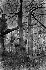 Dark Wood (sevenphoto) Tags: trees woods branches dark creepy eerie forest woodland scotland blackandwhite sigmadp1 dp1 foveon x3 sudek