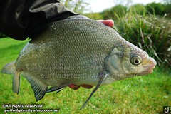 Bream - Abramis brama (puffinbytes) Tags: greatbritain england animals unitedkingdom carps bream essex animalia minnows cyprinidae cypriniformes chordates chordata actinopterygii rayfinnedfishes abramis abramisbrama taxonomy:kingdom=animalia taxonomy:phylum=chordata taxonomy:class=actinopterygii taxonomy:family=cyprinidae taxonomy:order=cypriniformes leuciscinae spb:lid=00an spb:country=uk spb:id=01f5 spb:species=abramisbrama spb:pty=f taxonomy:subfamily=leuciscinae taxonomy:genus=abramis taxonomy:species=brama taxonomy:binomial=abramisbrama taxonomy:common=bream spb:pid=0kd7