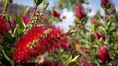 Banksia Roja