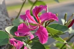 Hong Kong orchid tree (Carole_R) Tags: hawaii maui bauhiniablakeana