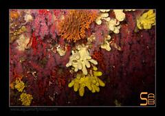 grotte2334_100612 (kactusficus) Tags: sea mer uw rouge photo nice mediterranean underwater diving sponge villefranche grotte plongée mediterranée rubrum corail sousmarine corallium aplysina