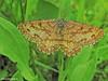 Moth - Falena (Ematurga atomaria, male) (Forest (GKweb.it)) Tags: macro canon insect moth insects lepidoptera farfalla insetto sx20 falena canonsx20is canonsx20 eterocera