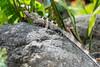 Iguana in Villa Lapas Costa Rica (mikebaird) Tags: costarica iguana mikebaird