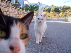 Always butting in (Steve Taylor (Photography)) Tags: road holiday cat village kefalonia cephalonia cephallonia kefallonia cephallenia kefallinia