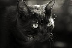 """Addio Clifford! (12-09-2011   11-07-2012) (pino piedimonte) Tags: cat blackcat blackwhite felino clifford gatto micio monocrome neroametà licwip """"flickraward"""" pinopiedimonte"""