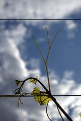 Attrape-moi si tu peux !!! (kolani_57) Tags: sky sun france green backlight clouds soleil nikon vert bleu ciel vineyards nuages lorraine vigne contrejour feuille moselle d3000 kolani chateaudevaux