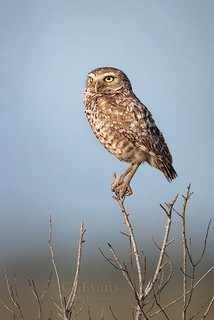 Burrowing Owl in the Florida prairie