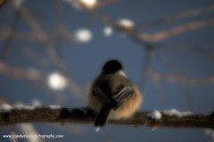 Chickadee (sandyolson) Tags: coyote blackandwhite canada macro bird history nature beautiful birds silhouette children photography wolf eagle wildlife insects moose canadian frog wilderness baroque johnlennon mammals chiaroscuro renaissance awardwinning irlambriggs