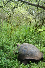 Galapagos tortoise (Chelonoidis nigra porteri) on Santa Cruz, Galapagos Islands (Dallas Krentzel) Tags: santa travel family trees wild cold college feet ice rain america forest neck giant islands grande highlands big ecuador rainforest louisiana toes long turtle reptile south may large shell darwin evolution glacier galapagos cruz sp age jungle scales dome tropical daisy huge tortoises extinction module biodiversity withdrawn nigra withdraw centenary chelonia glaciation 2011 insular darwinday testudinidae pedunculata scalesia testudine anapsid monotypic chelonoidis cyptic chelonoidisnigra taxonomy:binomial=chelonoidisnigra testudinid scalesiapedunculata giantscalesia