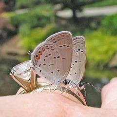 tiny hitchhikers ... (Vicki's Nature) Tags: two canon butterfly georgia hand pair diamond tiny sweep game2 hitchhikers s5 twothumbsup bigmomma easterntailedblue 5724 gamewinner thumbwrestler cf2 15challengeswinner vickisnature thumbsupwinner thechallengefactory thumbwrestlingwinner cfwinner storybookwinner bwcg2 pregamewinner gamesweepwinner gamegamex2challenge faves1019 gibbsgardens readywrestlingmatch storybookttwchallenge readygamex2 thumbsupupgradechallenge storybook2ofakind bwcghitchhikers thumbsup2ofakind cg2ofakind mothersightsoundtastefeel yourockhands storybooktiny 15ofgreatvalue storybookspecialwklychallengesparkling yourockhandsx2 gamegamex2x2 gamegamex2x3 tuupgradechallengex2 yourockmonthlychallengesmalladvertisement tuwrestingmatch pregamesmall storybookttwx2 fototwoofakindtough