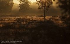 sunrise moods (hknatuurfoto (Hans Koster)) Tags: light netherlands sunrise licht nederland moor moods zon heide heaths zonsopkomst sferen maashorst slabroek