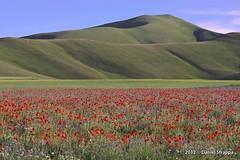 Castelluccio di Norcia (Danilo-Esse) Tags: natura fiori norcia castelluccio fioritura