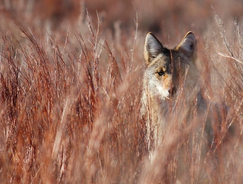 4th Place - Coyote in Little Bluestem in Red Hills