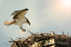 Osprey (~ Life As I See it ~) Tags: bird animal bay sigma 500 osprey nationalgeographic sigma500