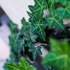 yellow veins (hermitsmoores) Tags: plant 6x6 mediumformat square nikon d70 nikond70 foliage dx nikkor50mmf14d phongho