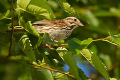 Song Sparrow (DMF Photography) Tags: nature birds newjersey jerseycity wildlife birding nj sparrows northeast birdwatching songsparrow arboreal passerines portliberte