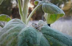 Grillo (Pablo5832) Tags: campo insecto grillo macrofotografa